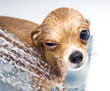 winking funny chihuahua taking a shower