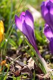 Violette Krokusblüte