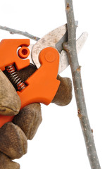 Trimming a Tree Branch with Pruning Shears
