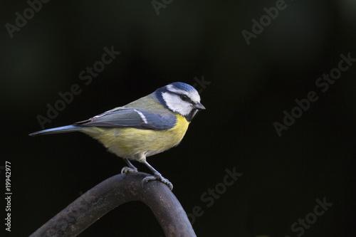 Mésange bleue (parus caeruleus)