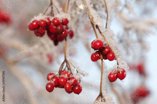 Arrowwood berries on ice-covered branches