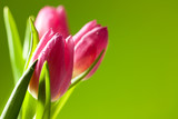 Fototapety tulips on green