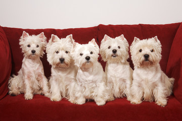 five West Highland White Terriers on the red sofa
