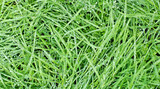 New green oats grass with water drops