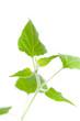 Junger grüner Trieb seitlich (Physalis)