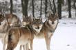 Fototapeta Bestia - Canis - Dziki Ssak