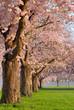 Kirschbaumreihe in voller Blüte