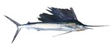 Sailfish real fish isolated on white
