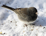 Junco with Snow on Beak poster