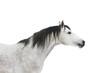 grey horse isolated