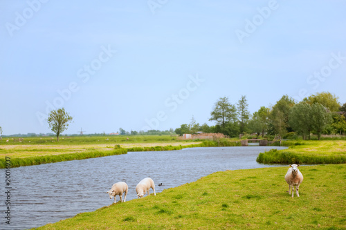 Sheep in Dutch landscape