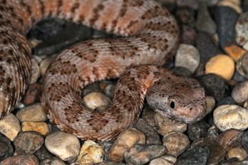 Snake-57