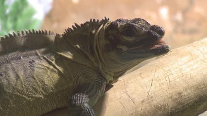 Lazy iguana on branch
