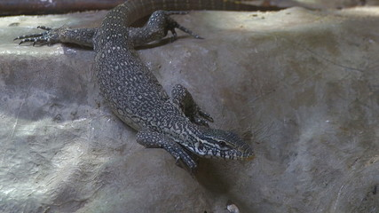 Nile river monitor lizard