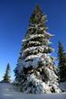 Fichte im Schnee - spruce in winter