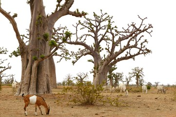 African Baobab tree with livestock eating