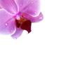 Orchidee mit Wassertropfen