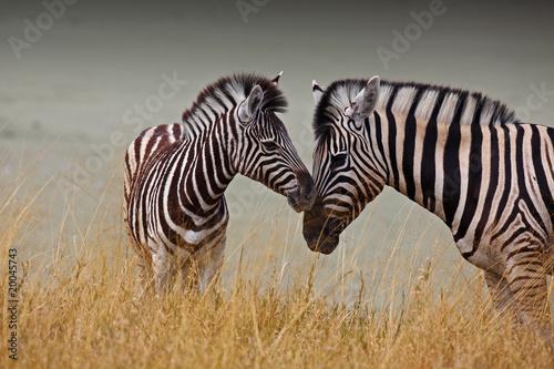 Foto op Aluminium Zuid Afrika Zebre - Madre e figlio