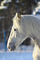 stallion in winter