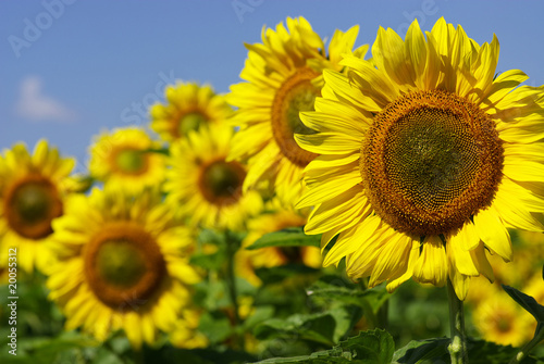 Leinwandbild Motiv sunflowers