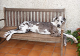 Great Dane Dog Sleeping poster