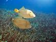 Halfmoon triggerfishes