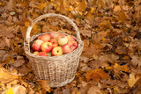 Basket with apples stand on earth on maple leaves