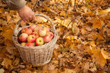 Basket with apples in man's hand on maple leaves