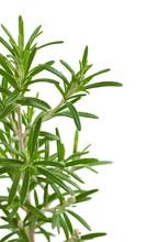Rosmarinus officinalis, aromatyczne rośliny, rozmaryn