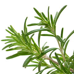 Romarin Rosmarinus officinalis, plante arômatique isolé blanc