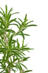 Rosmarinus officinalis, plante arômatique, branche de Romarin