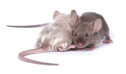 couple of mice