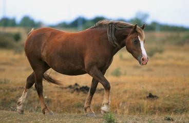 poney welsh trottant sur le chemin