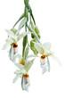 """Orchidée """"araignée"""" gongora"""