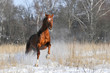 red horse in winter runs gallop