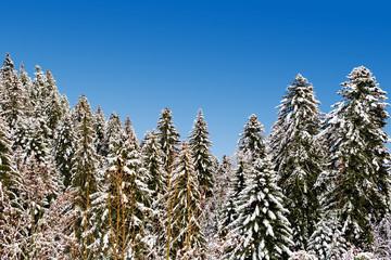forêt de mélèzes enneigée par beau temps et ciel bleu