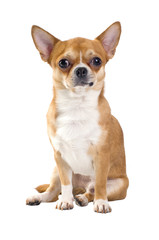 red chihuahua sitting isolated