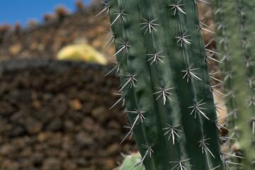 Kaktus auf Lanzarote