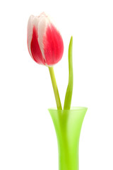 pink Dutch tulip over white background