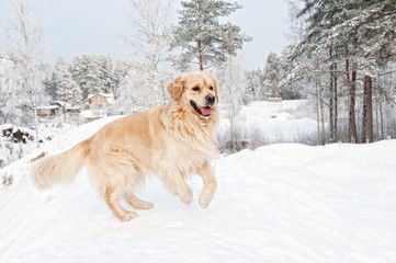 Golden retriever running in the snow .
