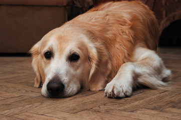 Sad golden retriever lying on the floor