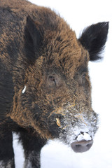 boar in snow