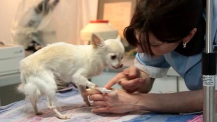 enlever le sparadrap de la perfusion du petit chien