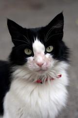 Chats noir et blanc - maladie de peau