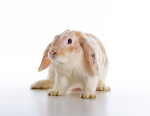 Cute rabbit over white background
