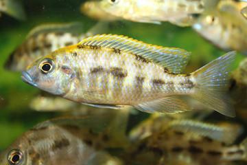 Otopharynx lithobates Jungfisch