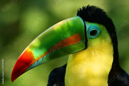 Portrait of a Toucan and its colorful beak