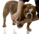 person cutting english bulldog toenails on white background poster