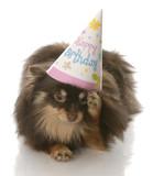 pomeranian rubbing side of head wearing happy birthday hat poster