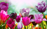 Fototapety Beautiful spring flowers, tulips